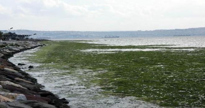 Karşıyaka sahili deniz marulu yosunlarla kaplandı