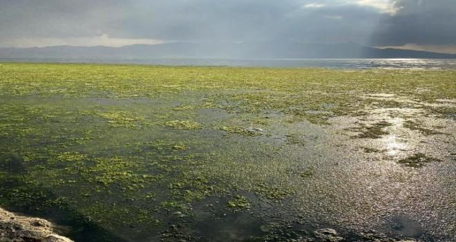 Bostanlı sahilinde deniz marulu sorunu bitmiyor