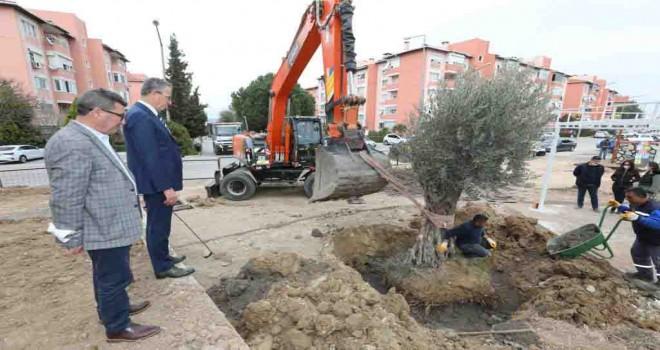 Gaziemir'de zeytin ağaçlarına ikinci yaşam