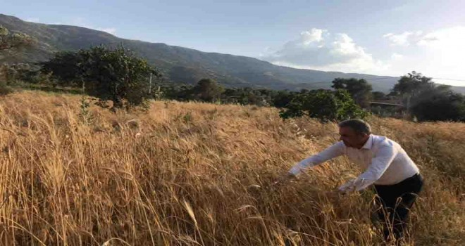 Beydağ'da Karakılçık Buğdayı hasadı