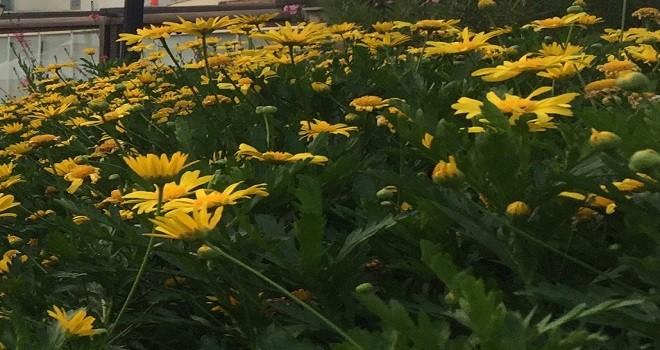 Karşıyaka Çiçek Pazarı'nın yeri ve tarihi değişti