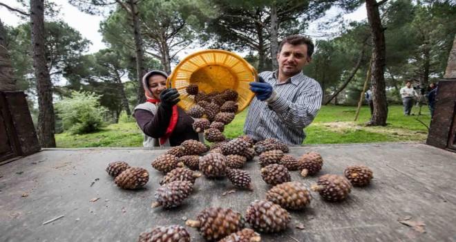 İzmir Büyükşehir fıstık çamı için yeniden kolları sıvadı