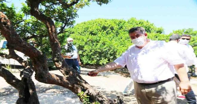 Çeşme sakız üretiminde Sakız Adası'na rakip oluyor