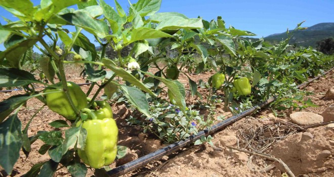 Buca'da sürdürülebilir tarım projesi devam ediyor