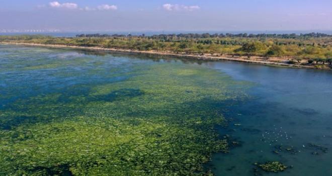 Deniz marulu İzmir Körfezi'nde yayılıyor