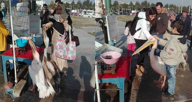 Bostanlı'da pelikanlar insanlarla iç içe...