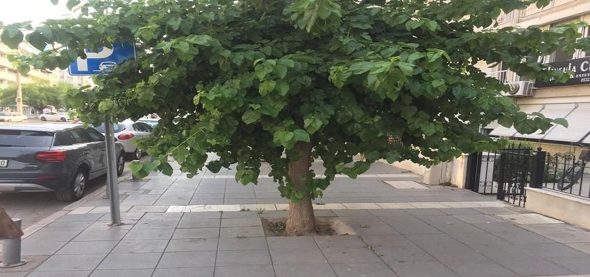 Şehitler Bulvarı'ndaki dut ağaçları yayalara geçit vermiyor
