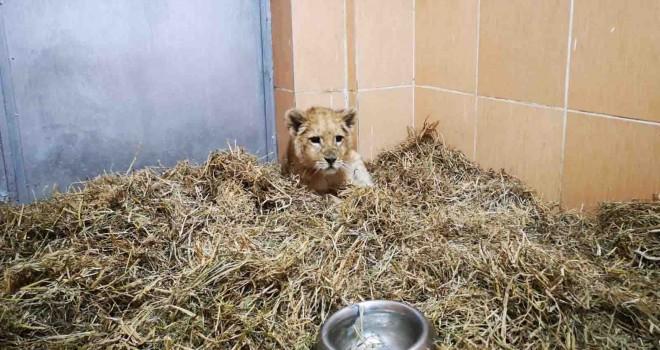 İzmir'de yavru aslan bulundu