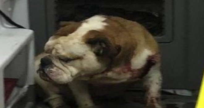 Sahipli Bulldog, önce çiçekçiyi, sonra doktoru ısırdı…